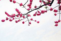 Pfirsich-Blumen Stockfotos