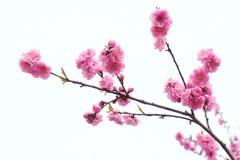 Pfirsich-Blumen Lizenzfreie Stockfotografie