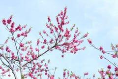 Pfirsich-Blumen Lizenzfreie Stockfotos