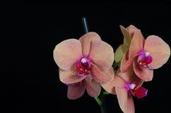 Pfirsich färbte Phalaenopsisorchideenblume auf schwarzem Hintergrund Stockfotografie