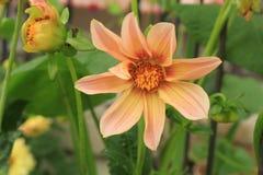 Pfirsich farbige Dahlie in der Blüte Stockbilder