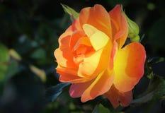 Pfirsich farbige Rose Stockfotografie
