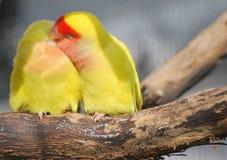Pfirsich-gegenübergestellter Lovebird Stockfotos