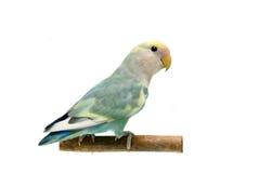 Pfirsich-gegenübergestellter Lovebird getrennt auf Weiß Lizenzfreie Stockfotos
