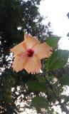 Pfirsich-Hibiscus lizenzfreie stockfotos