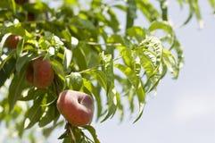 Pfirsich im Baum Lizenzfreies Stockfoto