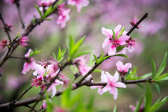 Pfirsich im Frühjahr Stockfotos