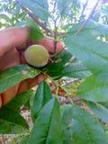 Pfirsich ist eine weiche, saftige und fleischige Frucht stockfotos