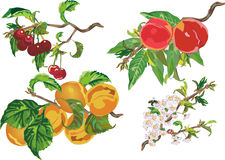 Pfirsich, Kirsche und Aprikose Stockfotos