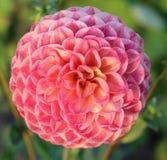 Pfirsich-rosa Dahlia Flower-Nahaufnahme Lizenzfreie Stockfotos