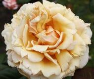 Pfirsich Rose Stockfotografie