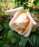Pfirsich Rose lizenzfreies stockbild