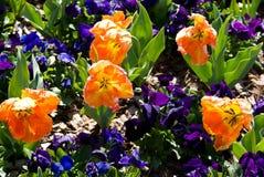 Pfirsich-Tulpen Lizenzfreies Stockfoto