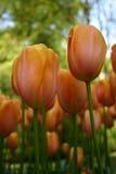Pfirsich-Tulpen stockbilder