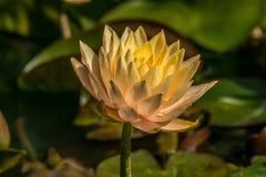 Pfirsich waterlily gefärbt in einem Teich stockfoto