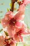 Pfirsichbäume in der Blüte Lizenzfreie Stockfotografie