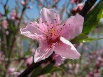 Pfirsichbaum, der am sonnigen Tag bl?ht lizenzfreie stockbilder