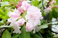 Pfirsichbaum in Japan Blume der japanischen Aprikose, eine ume Blume, ume Stockfotos