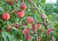 Pfirsichbaum mit dem Fruchtwachsen im Garten Stockfotografie