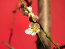 Pfirsichbaum mit rosa Pfirsichblumen lizenzfreie stockbilder