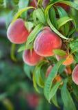 Pfirsichbaumfrüchte Lizenzfreies Stockbild