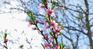 Pfirsichblühen Rosa Bl?ten auf Baum bl?hender Baum stock video