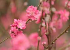 Pfirsichblüte Lizenzfreie Stockbilder