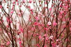 Pfirsichblüte Lizenzfreies Stockbild