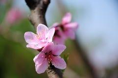 Pfirsichblüte Lizenzfreie Stockfotografie