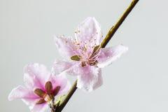 Pfirsichblüte Stockbild