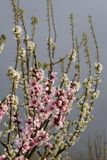 Pfirsichblüte stockfoto