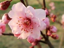 Pfirsichblüte, Blume, Lizenzfreie Stockfotografie