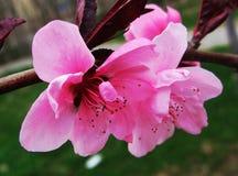 Pfirsichblüte, Blume, Lizenzfreies Stockfoto