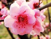 Pfirsichblüte, Blume, Stockfoto