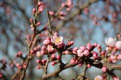 Pfirsichblüte in der Knospe Stockbilder