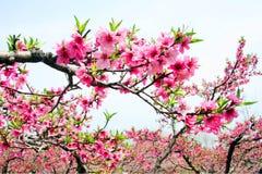 Pfirsichblüte des Blühens stockbild
