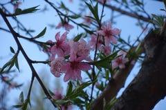 Pfirsichblüte gegen blaue Himmel im Frühjahr Lizenzfreies Stockfoto