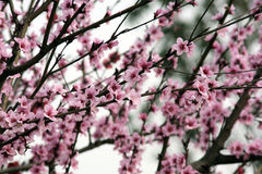 Pfirsichblüte im Frühjahr Stockfotografie