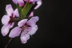 Pfirsichblüte im Frühjahr Pfirsichblüte fotografierte nahes oben lizenzfreies stockbild