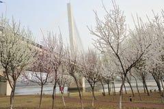 Pfirsichblüte mit Schrägseilbrücke Lizenzfreie Stockfotos