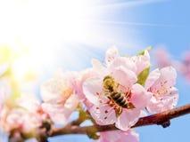 Pfirsichblüte und -biene Lizenzfreies Stockbild