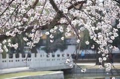 Pfirsichblüte in voller Blüte Stockfotografie