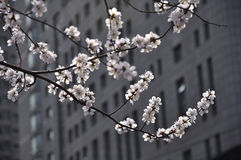 Pfirsichblüte in voller Blüte Stockfotos