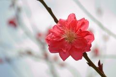 Pfirsichblüte in voller Blüte im Frühjahr Lizenzfreie Stockfotos
