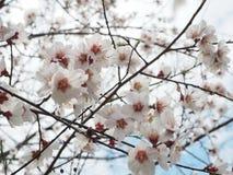 Pfirsichblütenöffnung mit glänzendem Rot Lizenzfreie Stockbilder