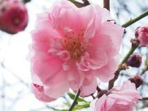 Pfirsichblütenöffnung mit glänzendem Rot Lizenzfreies Stockfoto