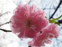 Pfirsichblütenöffnung mit glänzendem Rot Stockbilder