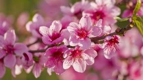 Pfirsichblüten Lizenzfreies Stockfoto