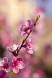 Pfirsichblüten Stockfotos
