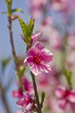 Pfirsichblüten Stockfotografie